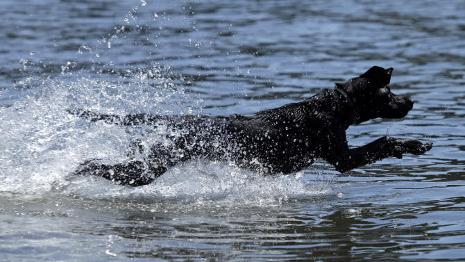 Vega leaps into the Willamette River after a ball in Portland, Ore., Monday, July 6, 2015.  People and their pets were out in droves in the river trying to keep cool from an extended heat wave with higher than normal temperatures for this time of year. (AP Photo/Don Ryan)