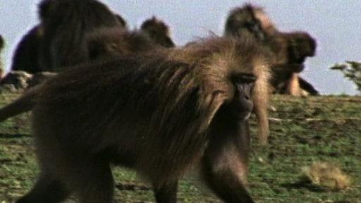 Weird Nature: Big-Haired Baboons