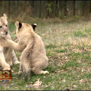 Adorable Additions: First Lion Cubs Born At The Maryland Zoo Thriving