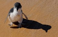 This file picture, taken in 2009, shows a little penguin walking on the beach near Sydney. Australia has announced plans to create the world's largest network of marine parks to protect ocean life, with limits placed on fishing and oil and gas exploration off the coast