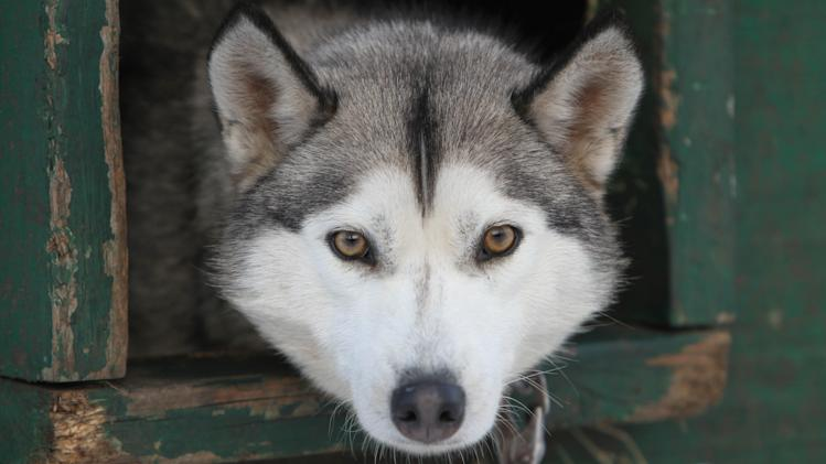"This Thursday Jan. 17, 2013 photo shows one of 120 dogs from the Muddy Paw Sled dog Kennel in Jefferson, N.H. The kennel takes in rescues and ""second-chance"" dogs  and is also home to a blind dog that relies on his brother to keep up with the rest of the team. (AP Photo/Jim Cole)"