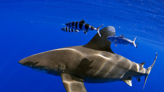 Whitetip Sharks' Amazing Long-Distance Voyage Revealed