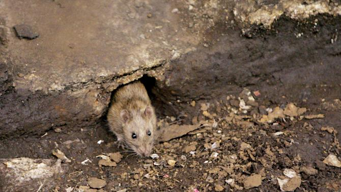 FILE- In this Dec. 12, 2005 file photo, a rat comes briefly out of its hole at a subway stop in the Brooklyn borough of New York, before retreating at the arrival of the F train. The New York City Council is considering a proposal to create an emergency rat mitigation program for storm-impacted neighborhoods. But some experts aren't so sure that Sandy's supposed rat surge is for real. (AP Photo Photo/Julie Jacobson, File)