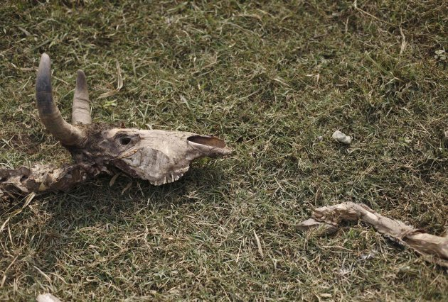 A cow carcass lies on the ground at a vulture restaurant in Nawalparasi
