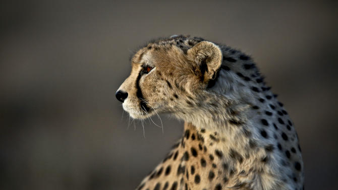 This Monday, May 26, 2014 photo, shows 7-year-old male Asiatic Cheetah, named 'Koushki,' at the Miandasht Wildlife Refuge in Jajarm, northeastern Iran. Iran is conducting a campaign to rescue the Asiatic Cheetah which has disappeared across south and central asia except fewer than 100 remaining in Iran. (AP Photo/Vahid Salemi)