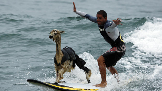 Peruvian surfer Pianezzi rides wave with his alpaca Pisco at San Bartolo beach in Lima