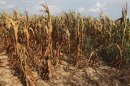 Corn plants struggle to survive on drought-stricken land of farmer Scott Keach who owns 2500 acre Keach Farm in Henderson