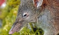 New Rat Species With 'Fangs' Found In Forest