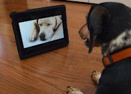 """Bandit"" watches Dog TV in Washington, DC. Dog TV says it's ""the first television channel for dogs,"" with ""scientifically developed"" 24/7 programming full of frisky hounds running leashless in lush green fields to soothing strains of meditative music"