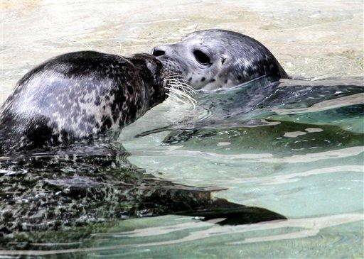 A seal cub plays with it's mother at a Zoo in Germany, June 28, 2012. Annette Zoepf/dapd/AP