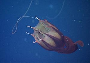 Vampire Squid Are Sea's Garbage Disposals