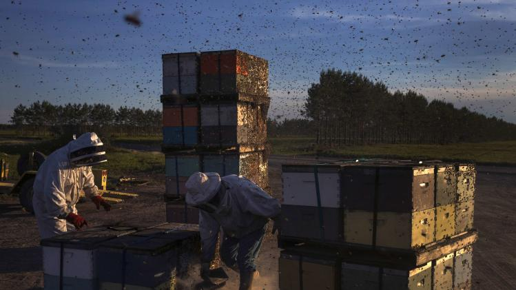 Beekeepers use a bee smoker to calm colonies before transferring them to another crop near Columbia Falls, Maine