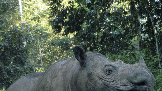 FILE - In this 2010 file photo released by the Indonesian Rhino Foundation, locally known as Yayasan Badak Indonesia (YABI) and the International Rhino Foundation (IRF), a female Sumatran rhino named Ratu is seen at Way Kambas Rhino Reservation in Lampung, Indonesia. An Indonesian official said that 12-year-old Ratu has given birth to a male calf Saturday, June 23, 2012. It's only the fifth known to have been born in captivity. (AP Photo/Indonesian Rhino Foundation and International Rhino Foundation) NO SALES