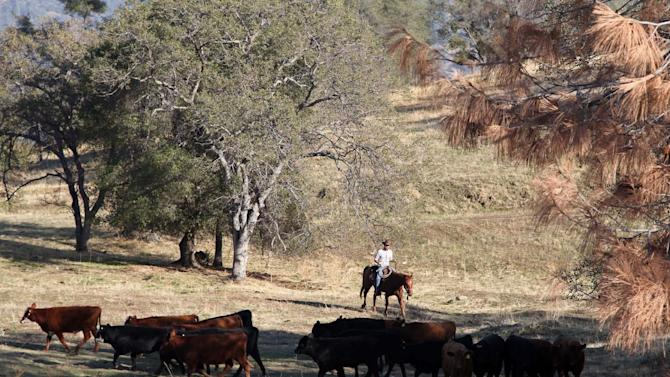 In this photo taken on Nov. 26, 2012 near Friant, Calif., herd manager Billy Freeman pushes cattle grazing on the Finegold Creek Preserve toward another pasture. The land and the herd are owned by the Sierra Foothill Conservancy, a Fresno-area land trust that's one of several conservation groups partnering with industries such as ranching, logging and fishing. (AP Photo/Gosia Wozniacka)