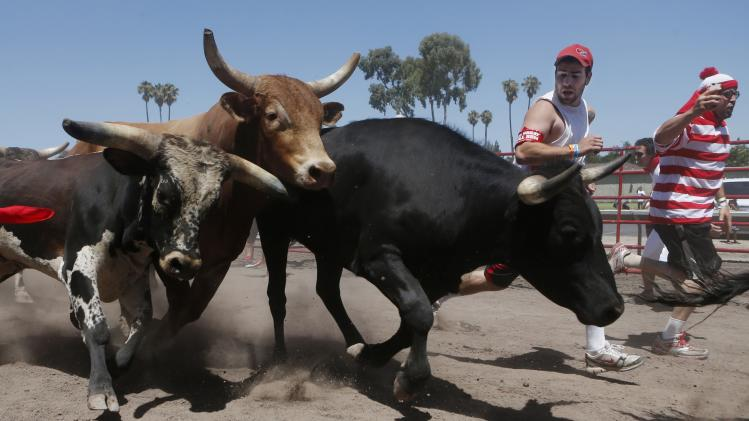 "File of bulls stampede past participants of ""The Great Bull Run"" at the Alameda County Fairgrounds in Pleasanton"