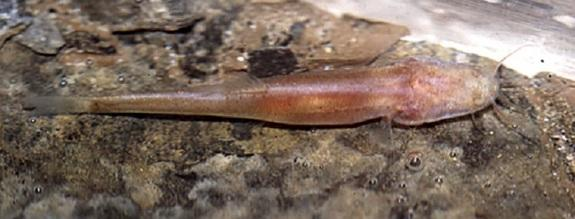 New Eyeless, Scaleless Cave Fish Found