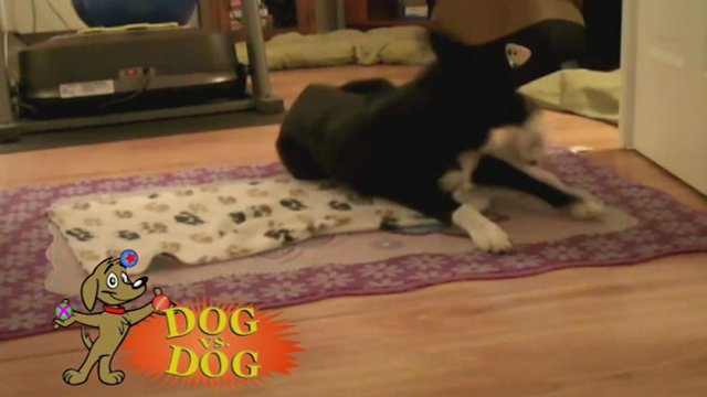 Dog vs. Dog: Tissue Deliverer Takes on Blanket Swaddler