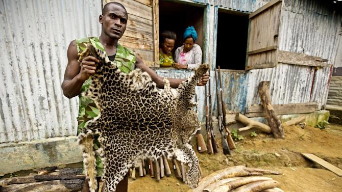 IMAGE DISTRIBUTED FOR WWF-Canon - Mba Ndong Marius, a Parcs Gabon Eco Guard, holds up a poached leopard skin in front of a collection of seized elephant tusk ivory and weapons on Monday, June 25, 2012, in Gabon. More than 1,000 rangers worldwide have lost their lives protecting wild places and protected species in the last ten years, according to the WWF. Perceived by organized criminals to be high profit and low risk, the illicit trade in wildlife is worth at least US$ 19 billion per year, making it the fourth largest illegal global trade after narcotics, counterfeiting, and human trafficking, according to a new report commissioned by WWF. Besides driving many endangered species towards extinction, illegal wildlife trade strengthens criminal networks, undermines national security, and poses increasing risks to global health, according to the WWF report, Fighting illicit wildlife trafficking: A consultation with governments, which will be unveiled today at a briefing for United Nations ambassadors in New York. (WWF-Canon/James Morgan via AP Images)