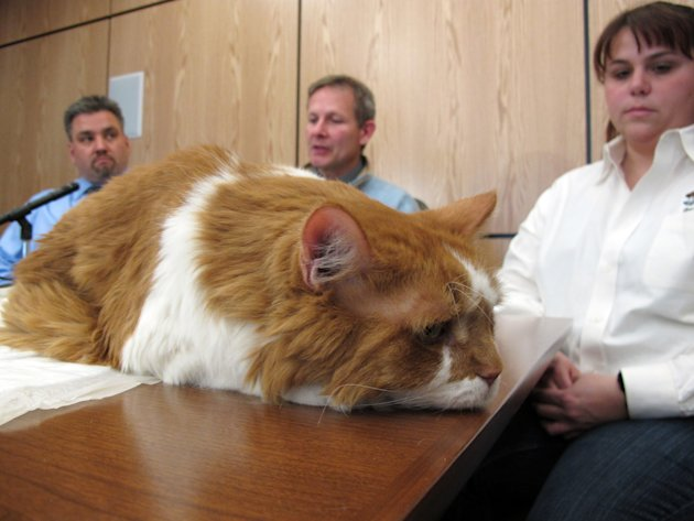 Cyrano lies on a table during a news conference at North Carolina State University in Raleigh, N.C., on Wednesday, Jan. 25, 2012. The 10-year-old tabby from Upperville, Va., received a groundbreaking
