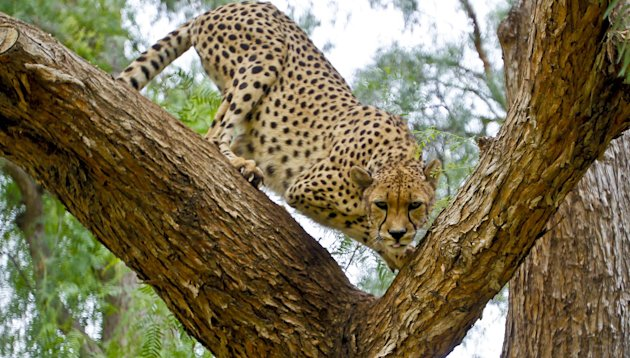 In this Nov. 29, 2012 photo, Makena, a 7-year-old female cheetah, maneuvers through a tree keeping a close watch on a stranger in the cheetah breeding facility at Safari Park, in Escondido, Calif. Che