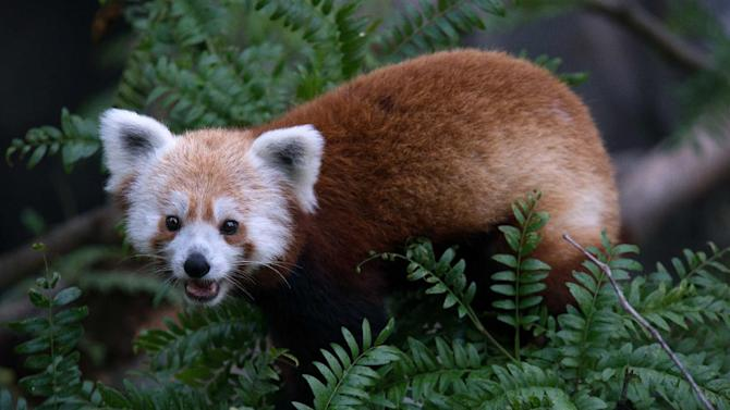 This undated handout photo provided by the National Zoo shows a red panda that has gone missing from its enclosure at the zoo in Washington. National Zoo spokeswoman Pamela Baker-Masson says animal keepers discovered the male red panda named Rusty was missing on Monday morning. Red pandas are in a separate family from giant pandas and are listed as vulnerable in the wild. They are highly territorial, so Baker-Masson says it's unlikely that Rusty traveled far from his home. He is likely hiding high in a tree branch. (AP Photo/Smithsonian's National Zoo, Abby Wood)