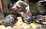 A worker holds a river terrapins (scientific name Batagur baska) at an animal sanctuary in Jakarta, Indonesia, in 2002. The critically endangered turtle species has been bred for the first time by zoologists using an artificial beach in Bangladesh, specialists announced on Monday