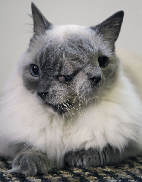 In this Wednesday, Sept. 28, 2011 photo, a cat with two faces, named Frank and Louie, sits on a mat in his home in Worcester, Mass.  The animal is known as a Janus cat, named for the figure in Roman m