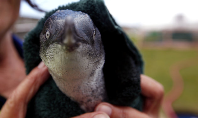 FILE - In this Friday, Oct. 14, 2011 file photo, a little blue penguin is dried by a rescue worker after it swam in a water pool during a cleaning session to get rid of fuel oil from its body at the w