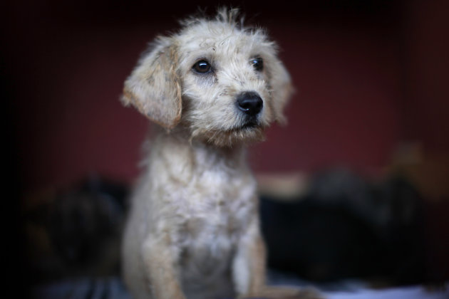 A puppy that was caught near the site of four fatal maulings sits inside a cage at a city dog pound in Mexico City,Wednesday, Jan. 9, 2013. Authorities have captured dozens of dogs near the scene of t