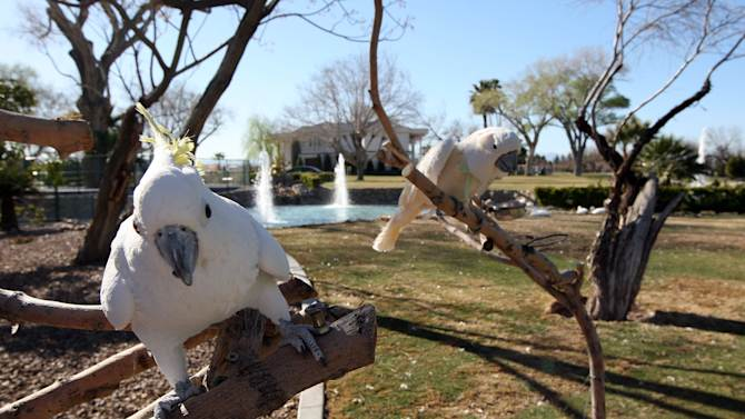 """FILE - This March 12, 2013 file photo shows two cockatoos, Elliott, left, and Lulu stand on branches at Wayne Newton's  Casa de Shenandoah in Las Vegas. The sign outside the sprawling Newton estate in southeast Las Vegas says """"For Sale.""""  Even if Casa de Shenandoah sells, the Newtons say their lease lets them stay in the three homes on the property. (AP Photo/Las Vegas Review-Journal, Jerry Henkel, File) LOCAL TV OUT; LOCAL INTERNET OUT; LAS VEGAS SUN OUT"""