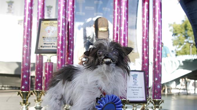 Peanut, a two-year-old mutt poses in front of the winning trophies, after winning the World's Ugliest Dog Contest, at the Sonoma-Marin Fair, Friday, June 20, 2014, in Petaluma, Calif. Peanut is from North Carolina. (AP Photo/George Nikitin)