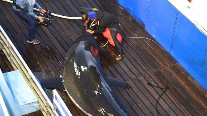 This September 18, 2012, photo provided by OCEARCH shows scientists tagging a great white shark named Mary Lee off Cape Cod, Massachusetts. The shark was tracked south to the Florida coast but as of Thursday, January 31, 2013, was again off Long Island, N.Y. OCEARCH, a nonprofit group that studies sharks and other large marine species, says little is known about the migration patterns of great whites. (AP Photo/OCEARCH, Mike Estabrook)