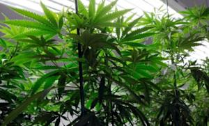 Marijuana plants flourish under grow lights at a warehouse in Denver: Colorado voters, as well as those in Washington and Oregon, will decide Tuesday whether their state should legalize recreational pot use.