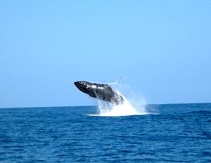 Humpback Whale Watching Season Starts Early in Hawaii