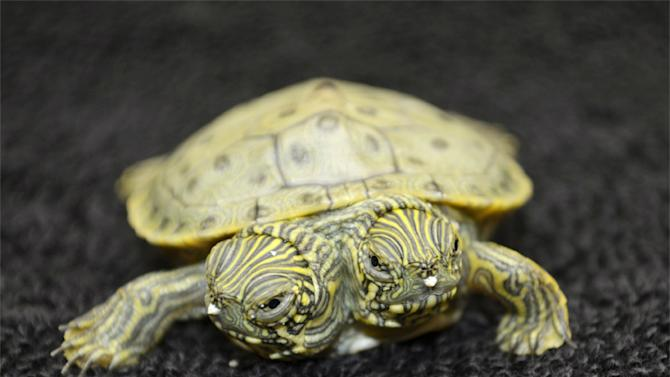 Thelma and Louise, a two-headed Texas cooter turtle, is seen in an undated photo provided by the San Antonio Zoo. Zoo officials on Tuesday, June 25, 2013 said the Texas cooter was born June 18. The turtle was one of several Texas cooters born this month at the zoo but the only one with two heads. The unusual turtle will go on display Thursday at the zoo's Friedrich Aquarium. (AP Photo/San Antonio Zoo)
