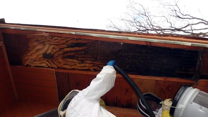 In this early April 2013 photo provided by Ogden beekeeper Vic Bachman, Bachman, left, assisted by partner Nate Hall, uses a vacuum cleaner to collect about 60,000 honeybees from a 12-foot-long beehive from an A-frame cabin in Eden, Utah. It was the biggest beehive the Utah beekeepers have ever removed. (AP Photo/Courtesy Vic Bachman)