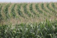 "Corn grows in a field near West Union, Iowa in 2011. US regulators Wednesday denied a request to change the name of high-fructose corn syrup to merely ""corn sugar,"" in a high-profile dispute between two industries"
