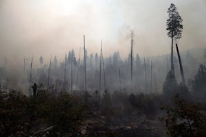 Trees burned by the Rim Fire stand on August 25, 2013…