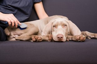 A 3-month old Weimaraner puppy getting brushed.