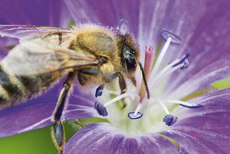 A New Way to Save the Bees: Have Them Deliver Natural Pesticides to Crops