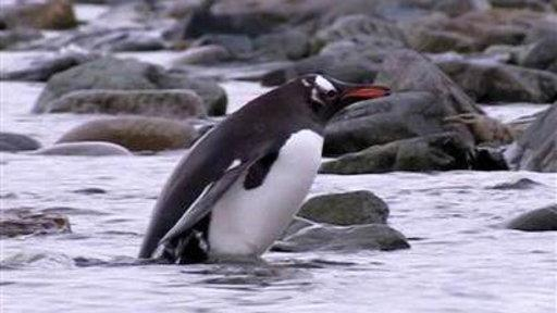 Melting Ice Puts Antarctic Penguins in Danger