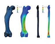 By simplifying leg bones down to basic columns, previous studies could have underestimated the stresses experienced in animal limbs by up to 142 percent. Stress shown here in the common hedgehog&#39;s femur (a), and a tibia of a large bird, Uria (b