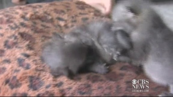 Baby gray foxes arrive at …