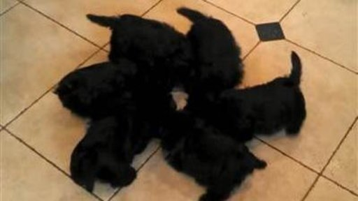 Scottie Puppies Form 'pinwheel' …