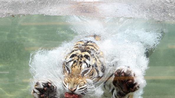 A Bengal Tiger named Akasha dives into the water after a piece of meat at Six Flags Discovery Kingdom on June 20, 2012 in Vallejo, California. On the first day of summer, temperatures in the San Francisco Bay Area ranged from the mid seventies by the coast to mid nineties inland. (Photo by Justin Sullivan/Getty Images)