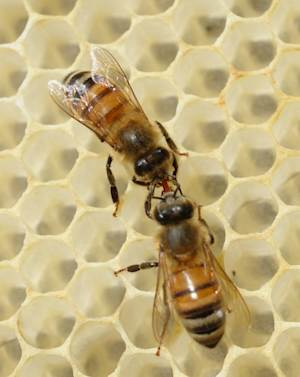 Best Rx for Bees? Their Own Honey