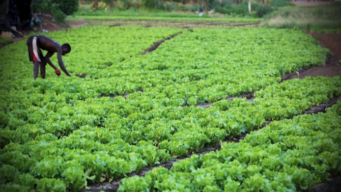 A man works in his lettuce garden, in Cocody