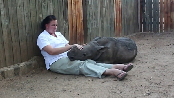 Baby Rhino Is Glued to Keeper After Seeing Poachers Kill Mother