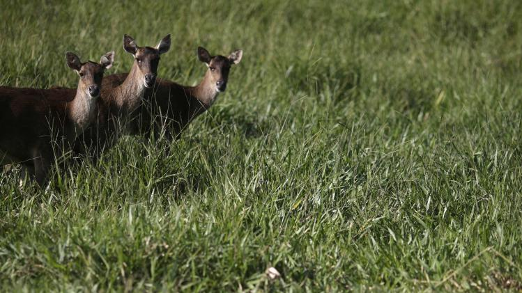 Antelopes look on at the Portobello Resort, where the Italy soccer team will be based during the 2014 World Cup, in Mangaratiba