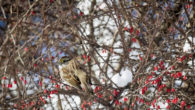 A bird sits in a snow covered bush in New York's Central Park